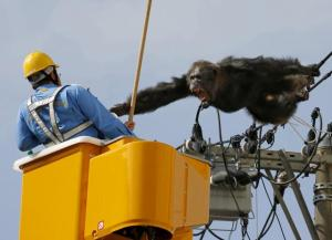 Male chimpanzee Chacha screams after escaping from nearby Yagiyama Zoological Park as a man tries to capture him on the power lines at a residential area in Sendai, northern Japan. The chimp was eventually caught after being shot with a tranquilizer gun and falling from the power lines, Kyodo news reported. REUTERS/Kyodo